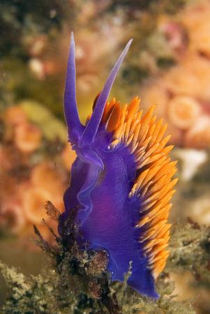 nudibranch: Spanish Shawl Nudibranch