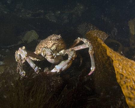 alga marina: Cangrejo ara�a en el Kelp Foto de archivo