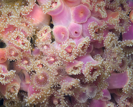 Pacific Ocean Purple Sea Anemone