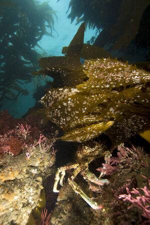 alga marina: Escondite de cangrejo en bosque del quelpo Foto de archivo