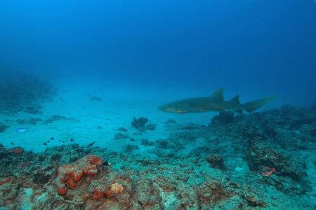 サンゴ礁のサメ