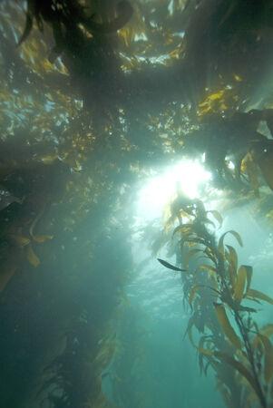 alga marina: Rayos de Sun a trav�s del bosque de algas marinas de California