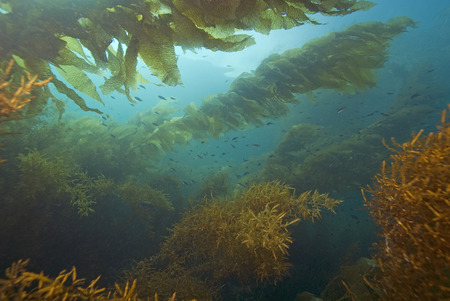 alga marina: Submarino del bosque del quelpo