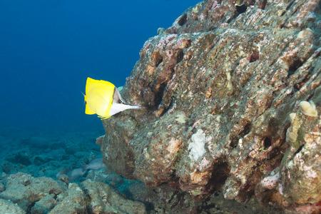 reef fish: Tropical fish at Hawaii reef Stock Photo