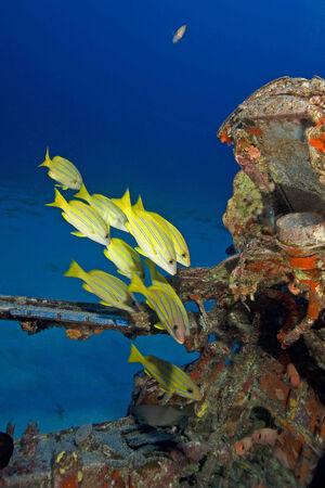 school fish: Tropical fish school of grunts at Hawaii Stock Photo