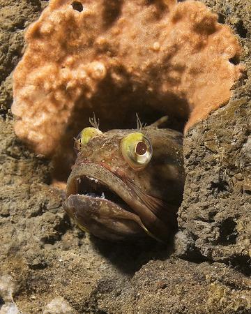 sarc�stico: Pescado Fringehead sarc�stico en San Diego Arrecife