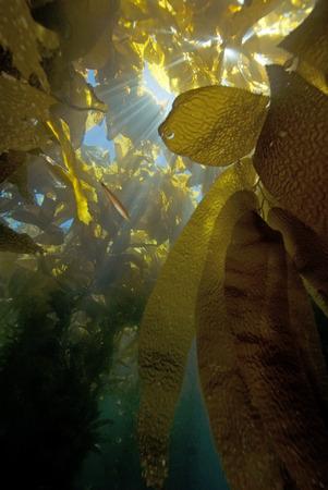 alga marina: Bosque de algas en Catalina Island Sun Rays Foto de archivo