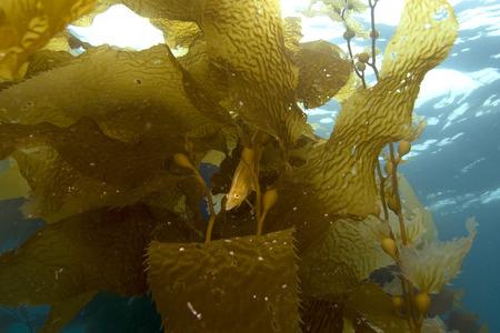 alga marina: Pescado Algas en California del bosque del quelpo