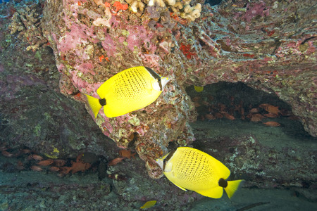 butterfly fish: Hawaii Tropical Butterfly fish Stock Photo