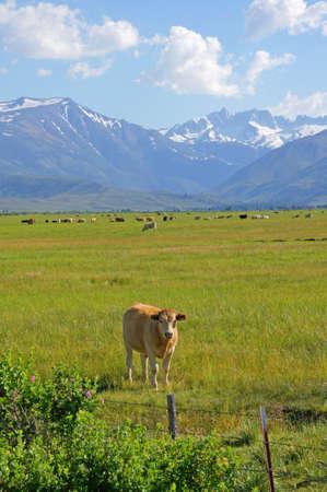 high sierra: Cattle at High Sierra Mountain Range Ranch Stock Photo