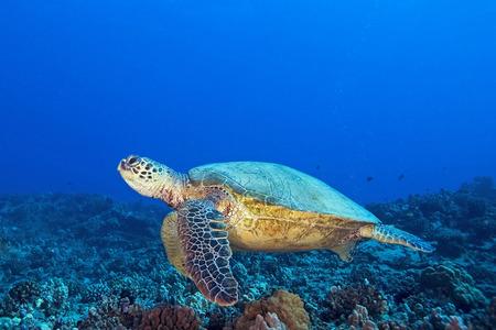 サンゴ礁でハワイ カメ 写真素材
