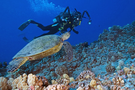 sea  scuba diving: Scuba diver and Sea Turtle swimming at Hawaii Coral Reef