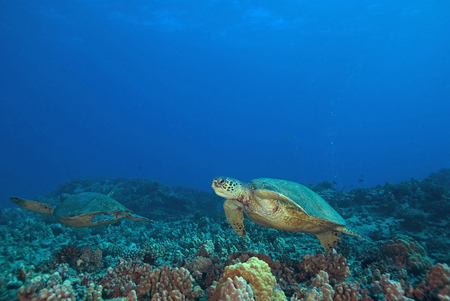 turtles: Sea Turtles swimming at Hawaii Coral reef