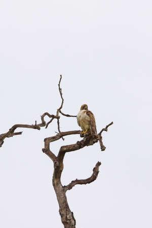 bird of prey: Hawk Bird of Prey at Laguna Beach tree Stock Photo