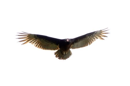 wing span: Vulture Bird of Prey Wing Span