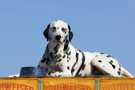 clydesdale: Budweiser Dalmatian Mascot at 2015 Los Angeles Air Show