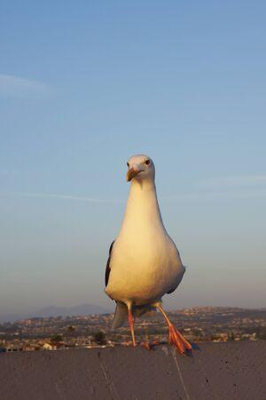 sea gull: Sea gull bird at California beach park Stock Photo