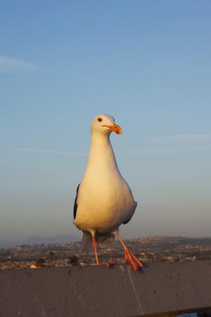 sea gull: Sea gull bird at California beach