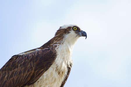 bird of prey: Osprey, bird of prey, at Florida swamp