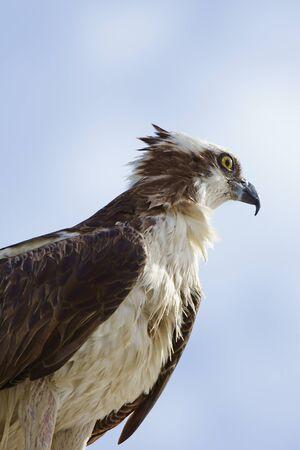 osprey bird: Osprey, bird of prey, hunting at Florida swamp