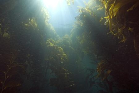 alga marina: Submarino Beach Kelp bosque en California
