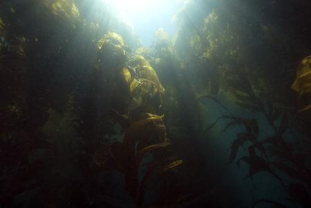 alga marina: Underwater Kelp bosque Rayos de Sun