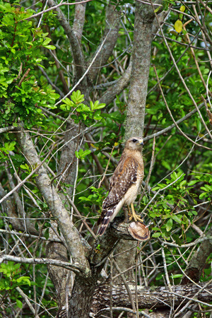 cape canaveral: Hawk in Florida swamp forest