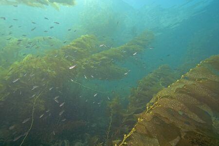 alga marina: Submarino de California bosque de algas y pescado