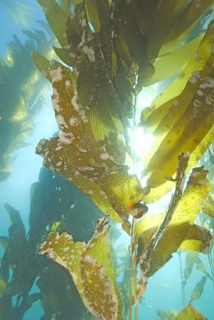 Zeewier onderwater met zeeslak
