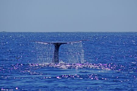 Blue Whale tail at Pacific Ocean off California coast