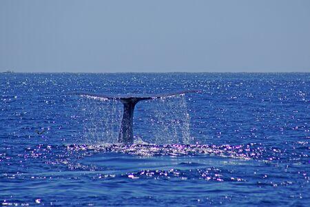 ballena azul: La cola de la ballena azul en el Oc�ano Pac�fico frente a la costa de California