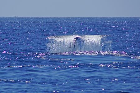 ballena azul: La cola de la ballena azul en el Océano Pacífico frente a la costa de California