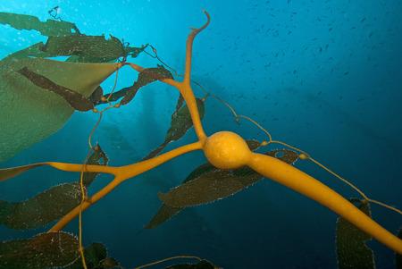 alga marina: bajo el agua algas marinas algas marinas gigantes en el fil�n de California Foto de archivo