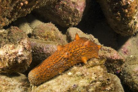 sea slug: Sea slug underwater at island reef Stock Photo