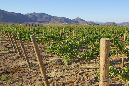 Winery Grape Vineyards in Ensenada, Mexico Stock Photo