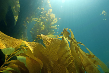Seaweed kelp forest at Catalina Island, California
