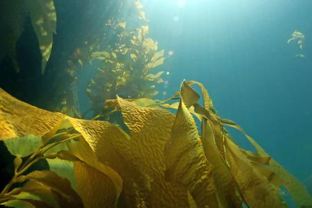 Zeewier kelp bos in Catalina Island, Californië