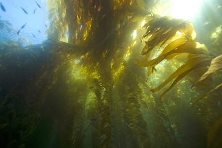 Seaweed underwater California Kelp Forest