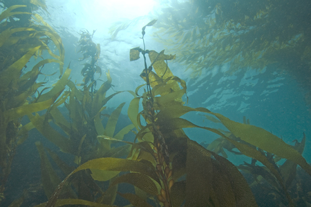 Sea life underwater kelp forest