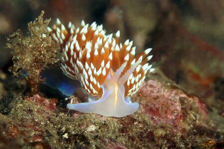 sea slug: Sea Life underwater sea slug nudibranch Stock Photo