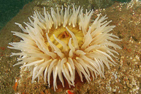Sea anemone at California reef