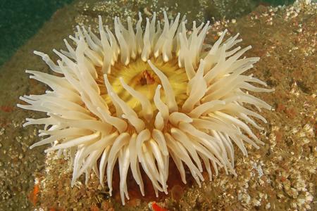 Zeeanemoon aan de California reef