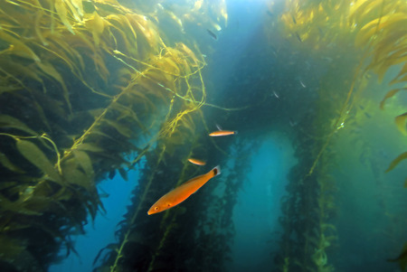 salt water fish: Kelp forest underwater Stock Photo