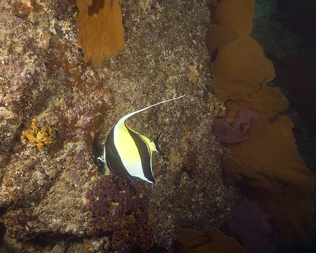 reef fish: Tropical fish at coral reef