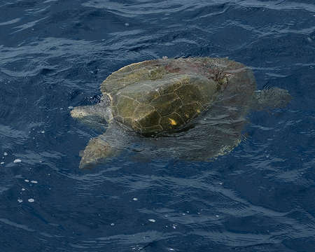 pacific ocean: Sea Turtle floating at Pacific Ocean, Mexico Stock Photo