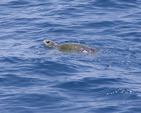 pacific ocean: Sea turtle swimming at Pacific Ocean, Mexico