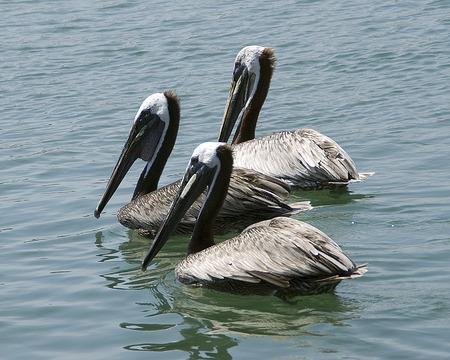 pacific ocean: Pelicans at Pacific Ocean