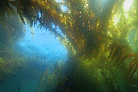 alga marina: Algas en el bosque de algas