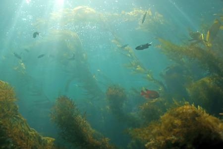 alga marina: bosque de algas y los rayos del sol