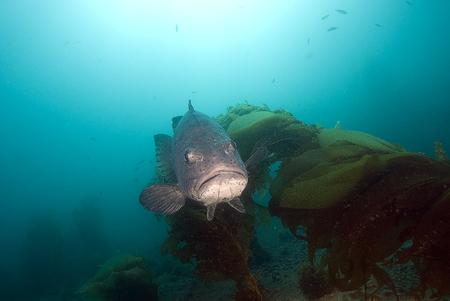 alga marina: Pez gigante piscina bajo el mar negro en el bosque de algas Foto de archivo